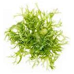 Algen-Extrakt